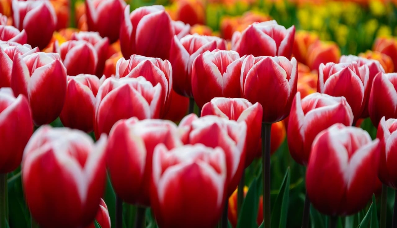 tulipes in Netherlands